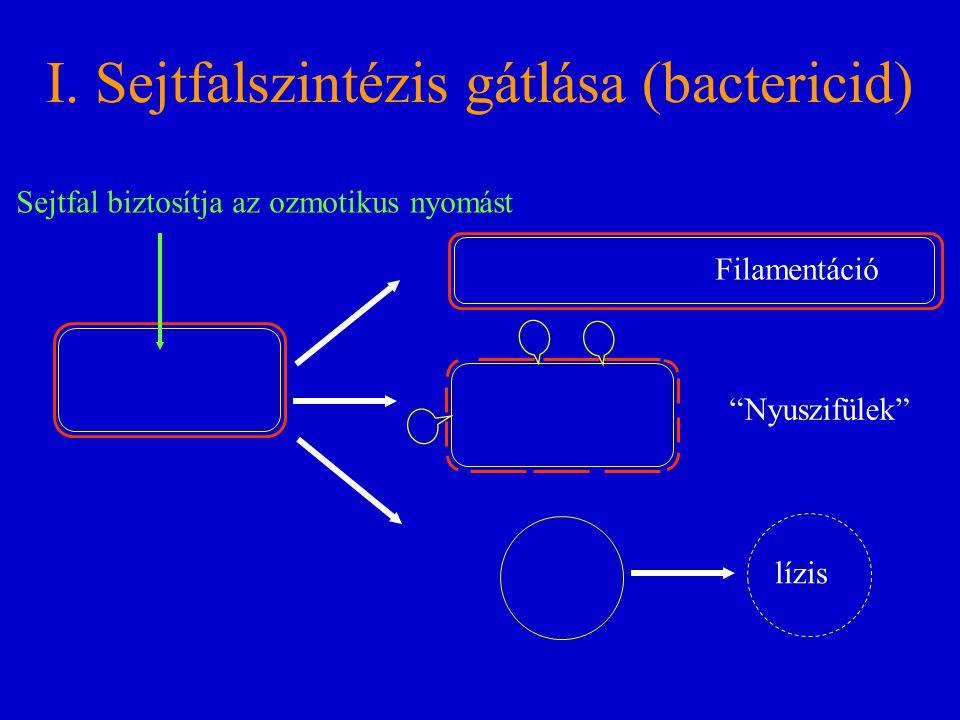 """I. Sejtfalszintézis gátlása (bactericid) Sejtfal biztosítja az ozmotikus nyomást Filamentáció lízis """"Nyuszifülek"""""""