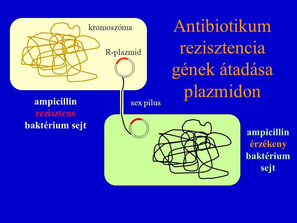 ampicillin érzékeny baktérium sejt Antibiotikum rezisztencia gének átadása plazmidon ampicillin rezisztens baktérium sejt kromoszóma R-plazmid sex píl