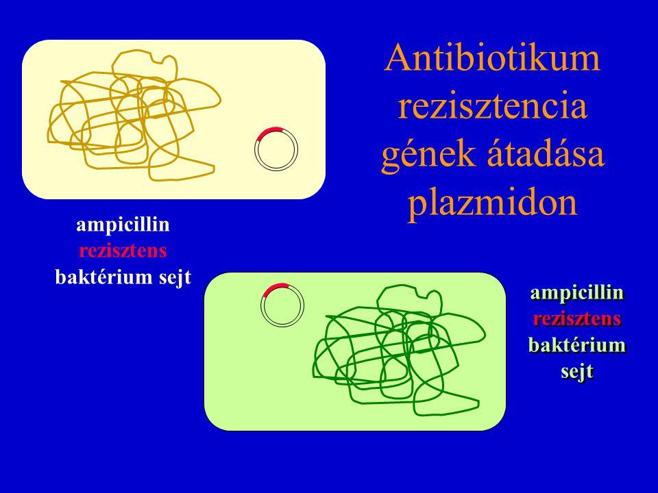 ampicillin rezisztens baktérium sejt Antibiotikum rezisztencia gének átadása plazmidon