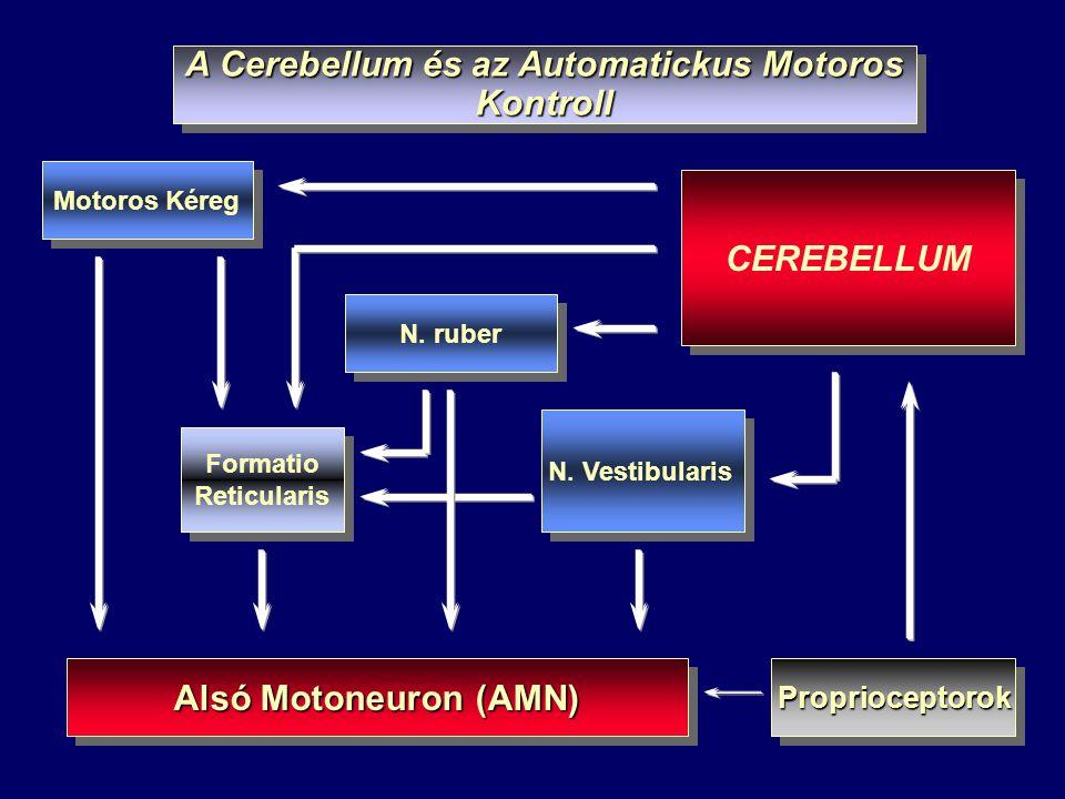 Formatio Reticularis Formatio Reticularis CEREBELLUM A Cerebellum és az Automatickus Motoros Kontroll Alsó Motoneuron (AMN) Motoros Kéreg N. ruber N.