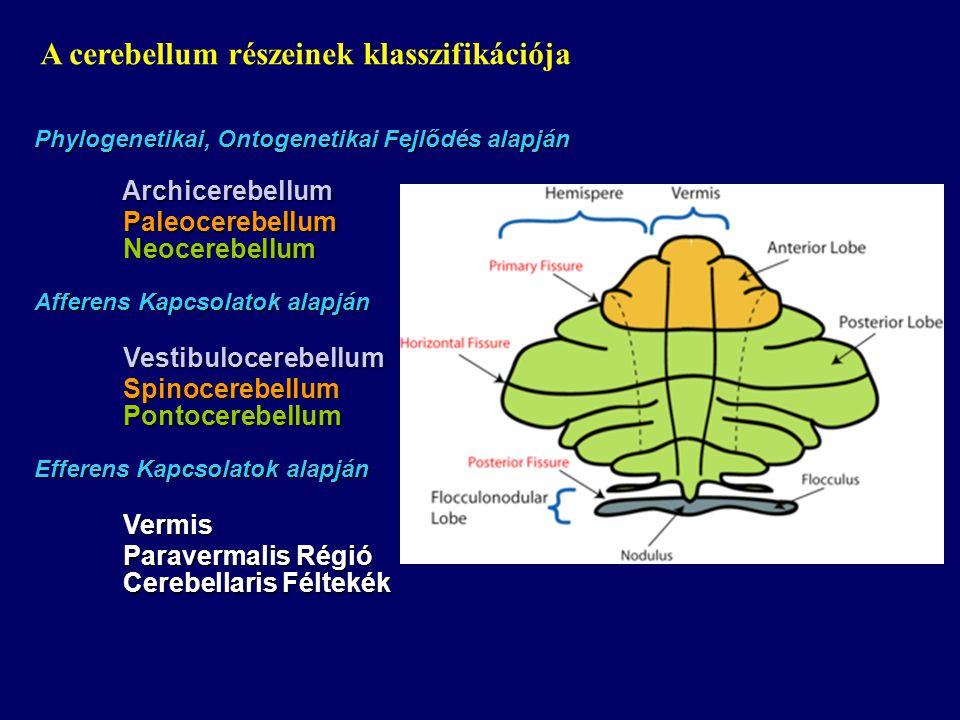 Phylogenetikai, Ontogenetikai Fejlődés alapján Archicerebellum Archicerebellum Paleocerebellum Paleocerebellum Neocerebellum Neocerebellum Afferens Kapcsolatok alapján Vestibulocerebellum Vestibulocerebellum Spinocerebellum Spinocerebellum Pontocerebellum Pontocerebellum Efferens Kapcsolatok alapján Vermis Vermis Paravermalis Régió Paravermalis Régió Cerebellaris Féltekék Cerebellaris Féltekék A cerebellum részeinek klasszifikációja