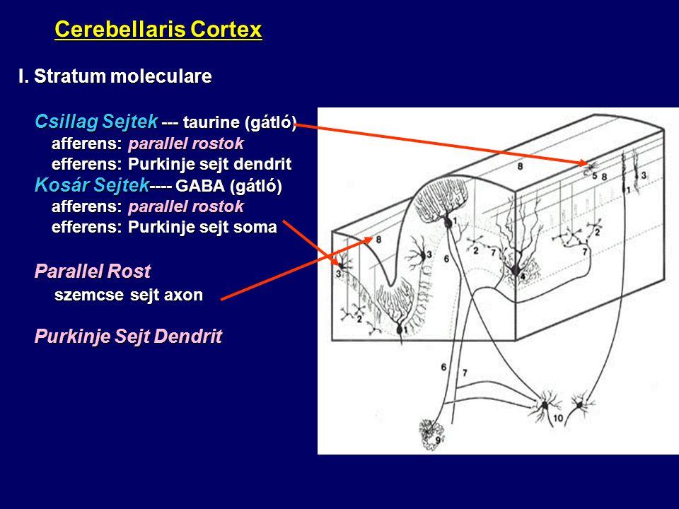 Cerebellaris Cortex Cerebellaris Cortex I. Stratum moleculare Csillag Sejtek --- taurine (gátló) Csillag Sejtek --- taurine (gátló) afferens: parallel