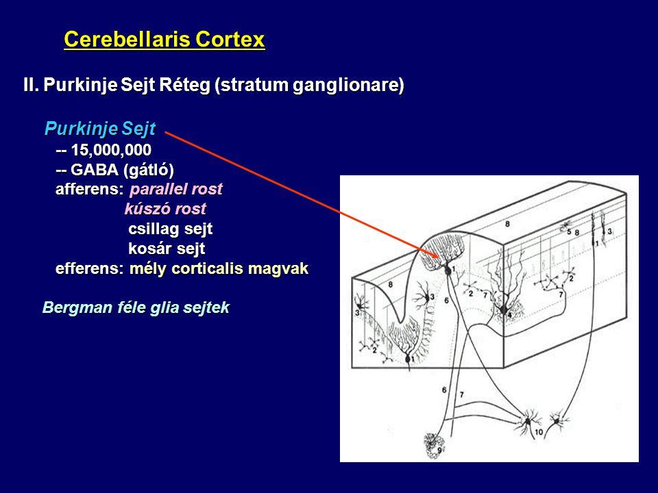 Cerebellaris Cortex Cerebellaris Cortex II. Purkinje Sejt Réteg (stratum ganglionare) Purkinje Sejt Purkinje Sejt -- 15,000,000 -- 15,000,000 -- GABA