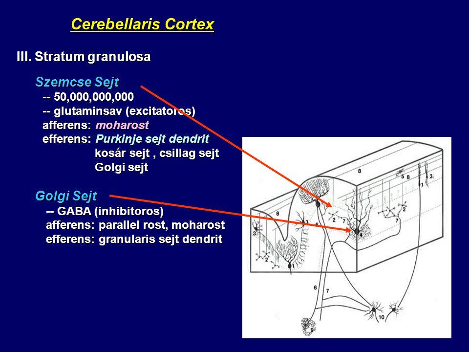 Cerebellaris Cortex Cerebellaris Cortex III. Stratum granulosa Szemcse Sejt Szemcse Sejt -- 50,000,000,000 -- 50,000,000,000 -- glutaminsav (excitator