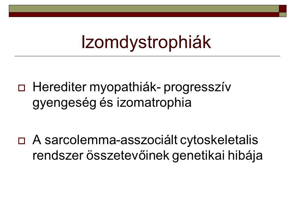 Izomdystrophiák  Herediter myopathiák- progresszív gyengeség és izomatrophia  A sarcolemma-asszociált cytoskeletalis rendszer összetevőinek genetika