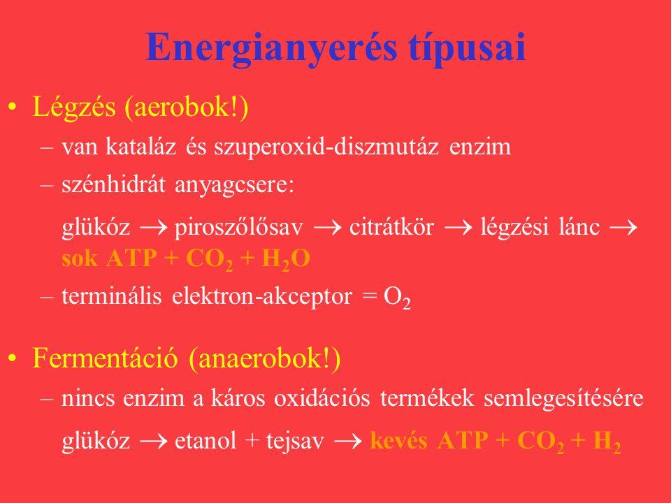 Energianyerés típusai Légzés (aerobok!) –van kataláz és szuperoxid-diszmutáz enzim –szénhidrát anyagcsere: glükóz  piroszőlősav  citrátkör  légzési