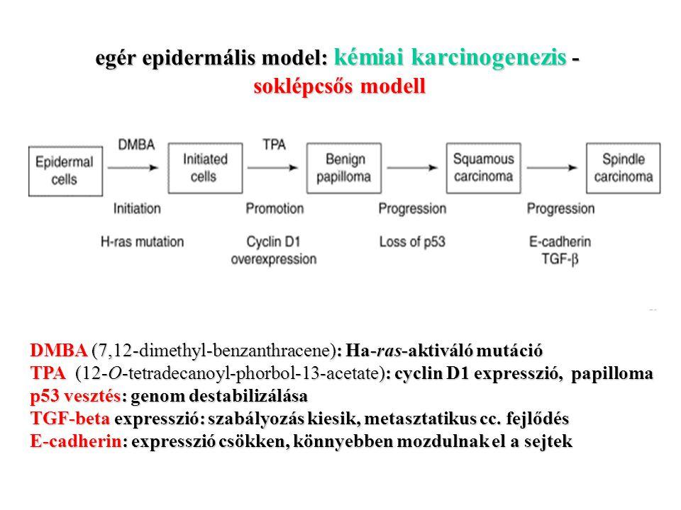 egér epidermális model: kémiai karcinogenezis - soklépcsős modell DMBA (7,12-dimethyl-benzanthracene): Ha-ras-aktiváló mutáció TPA (12-O-tetradecanoyl-phorbol-13-acetate): cyclin D1 expresszió, papilloma p53 vesztés: genom destabilizálása TGF-beta expresszió: szabályozás kiesik, metasztatikus cc.