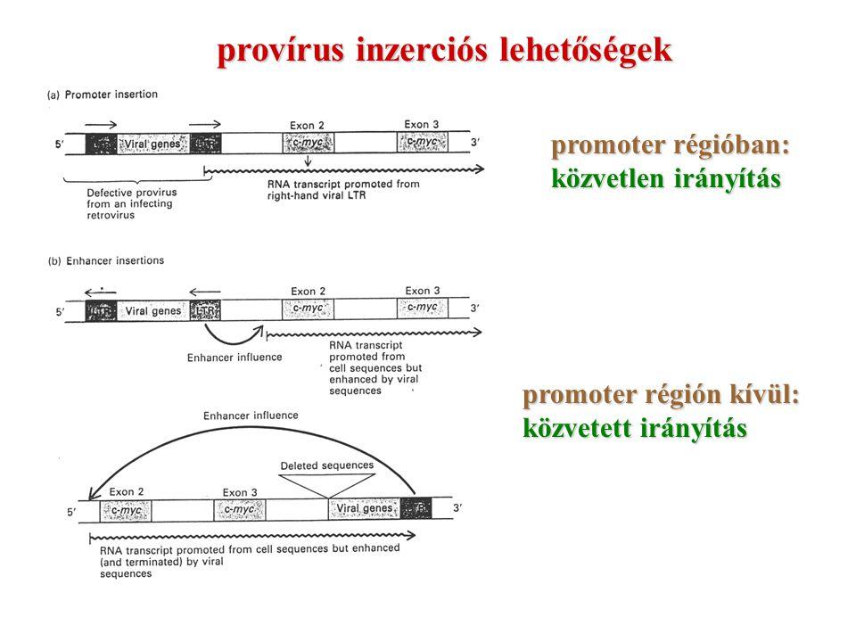 provírus inzerciós lehetőségek promoter régióban: közvetlen irányítás promoter régión kívül: közvetett irányítás