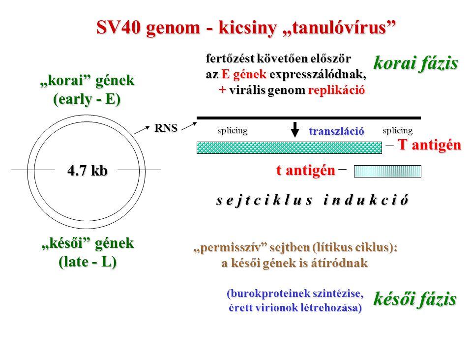"""""""korai gének (early - E) """"késői gének (late - L) 4.7 kb SV40 genom - kicsiny """"tanulóvírus fertőzést követően először az E gének expresszálódnak, + virális genom replikáció + virális genom replikáció RNS T antigén t antigén transzláció splicingsplicing """"permisszív sejtben (lítikus ciklus): a késői gének is átíródnak (burokproteinek szintézise, érett virionok létrehozása) korai fázis késői fázis s e j t c i k l u s i n d u k c i ó"""