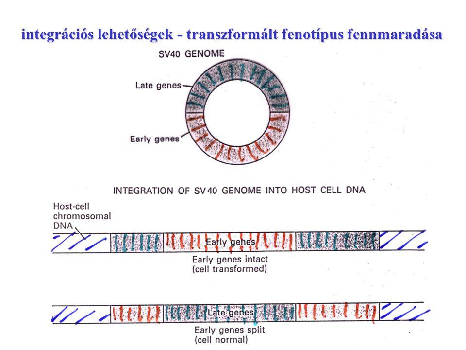 a HPV génszerkezete transzformáló gének: E6 - p53 E6 - p53 E7 - pRb E7 - pRb E5 - p21 WAF1 p14 INK4 E5 - p21 WAF1 p14 INK4