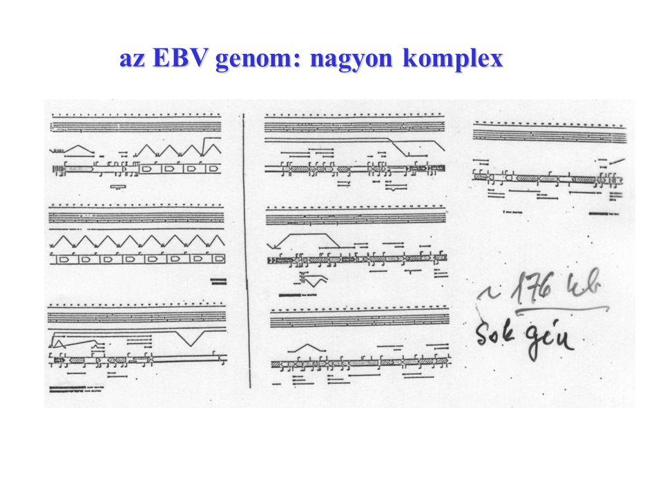 az EBV genom: nagyon komplex