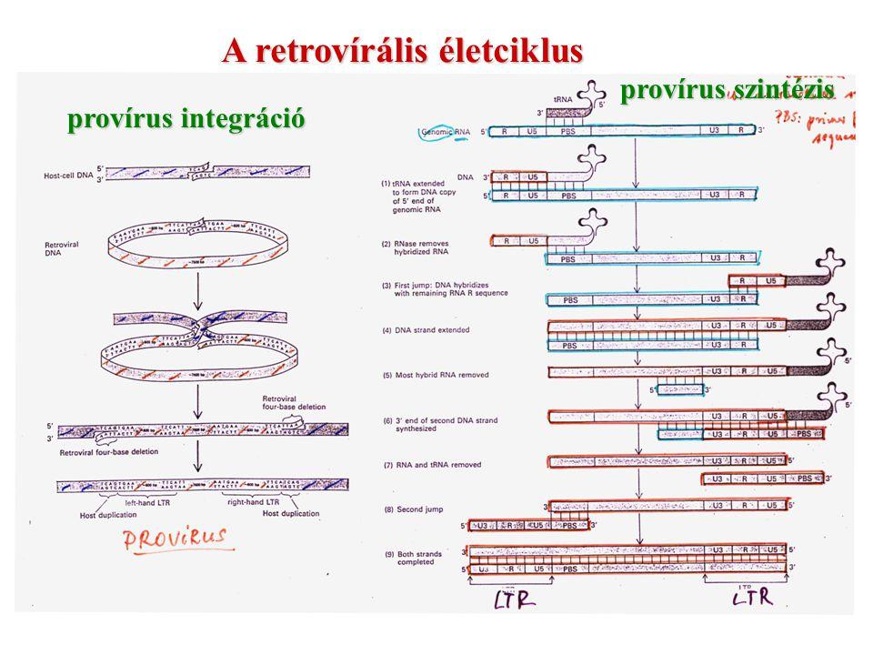 A retrovírális életciklus provírus integráció provírus szintézis