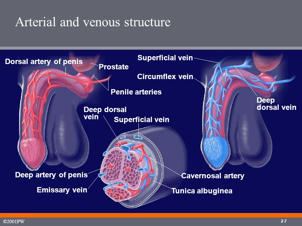 Sinusoid anatomy 2-8 ©2001PW Deep dorsal vein Helicine arteries Tunica albuginea Cavernosal artery Capillary vessels