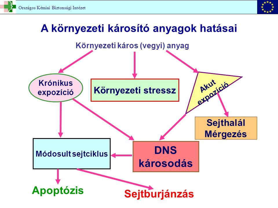 Krónikus expozíció Környezeti stressz Módosult sejtciklus DNS károsodás Környezeti káros (vegyi) anyag Akut expozíció Sejthalál Mérgezés Apoptózis Sejtburjánzás Országos Kémiai Biztonsági Intézet A környezeti károsító anyagok hatásai
