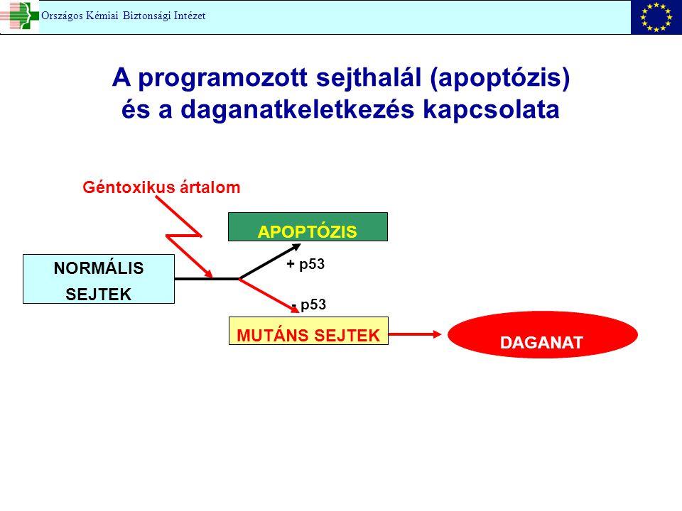 A programozott sejthalál (apoptózis) és a daganatkeletkezés kapcsolata Géntoxikus ártalom NORMÁLIS SEJTEK MUTÁNS SEJTEK APOPTÓZIS DAGANAT + p53 - p53