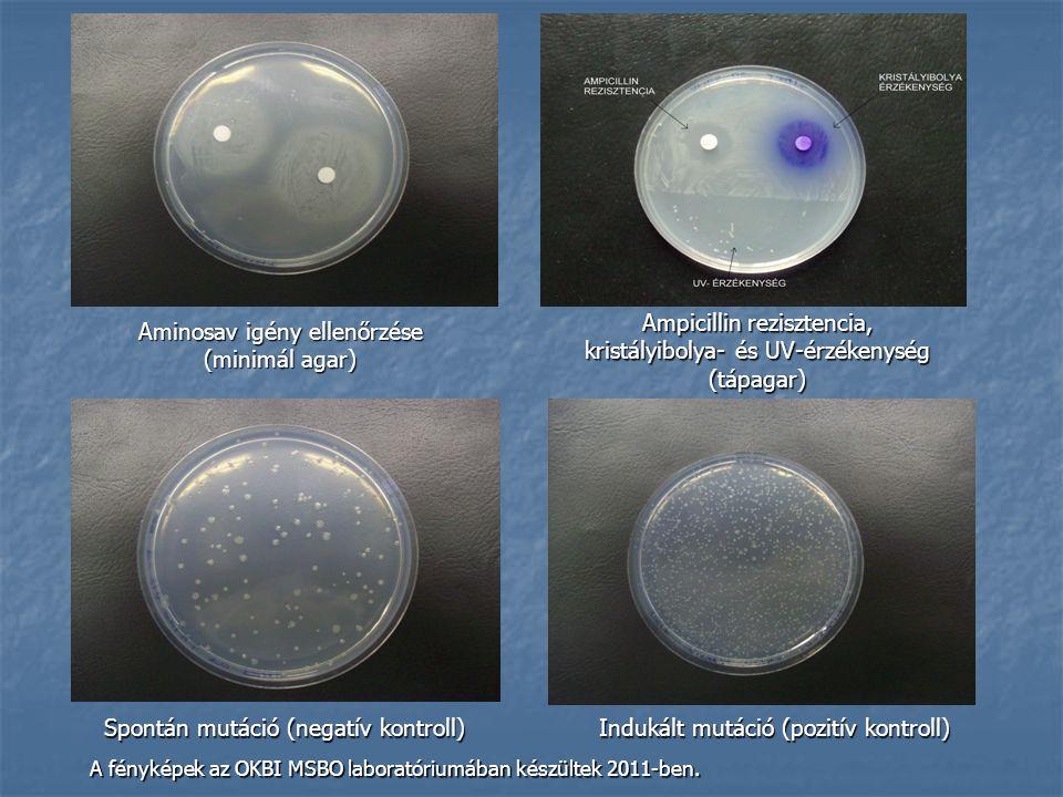 Aminosav igény ellenőrzése (minimál agar) Ampicillin rezisztencia, kristályibolya- és UV-érzékenység (tápagar) Spontán mutáció (negatív kontroll) Indu