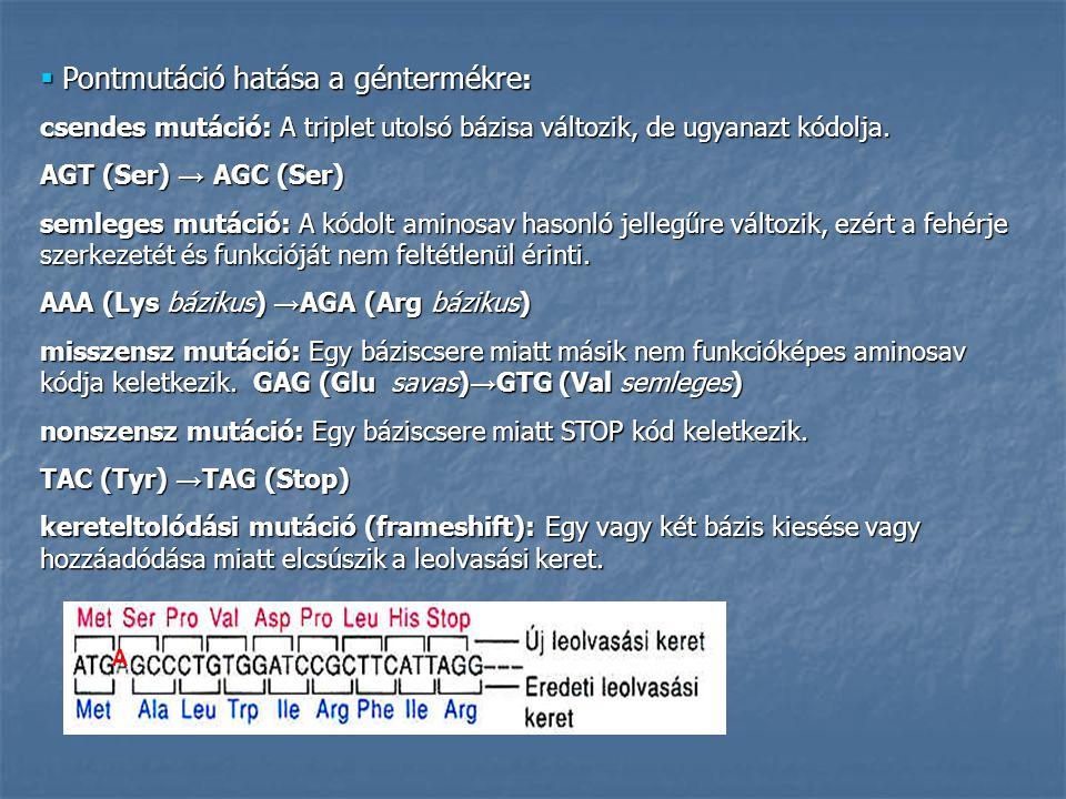  Pontmutáció hatása a géntermékre : csendes mutáció: A triplet utolsó bázisa változik, de ugyanazt kódolja. AGT (Ser) → AGC (Ser) semleges mutáció: A