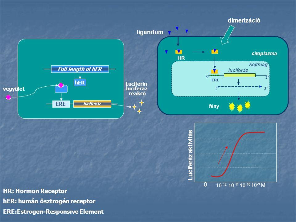 HR: Hormon Receptor hER: humán ösztrogén receptor ERE:Estrogen-Responsive Element ligandum HR 5' 3' luciferáz fény 5' 3' sejtmag citoplazma Luciferáz aktivitás 0 10 -12 10 -11 10 -10 10 -9 M dimerizáció ERE luciferáz ERE Full length of hER hERhER Luciferin- luciferáz reakcó vegyület