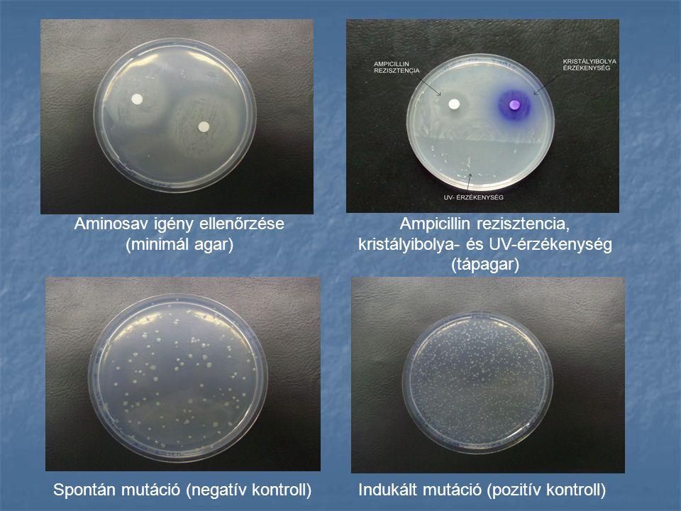 Aminosav igény ellenőrzése (minimál agar) Ampicillin rezisztencia, kristályibolya- és UV-érzékenység (tápagar) Spontán mutáció (negatív kontroll)Indukált mutáció (pozitív kontroll)