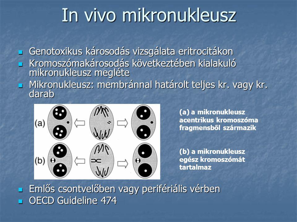 In vivo mikronukleusz Genotoxikus károsodás vizsgálata eritrocitákon Genotoxikus károsodás vizsgálata eritrocitákon Kromoszómakárosodás következtében kialakuló mikronukleusz megléte Kromoszómakárosodás következtében kialakuló mikronukleusz megléte Mikronukleusz: membránnal határolt teljes kr.