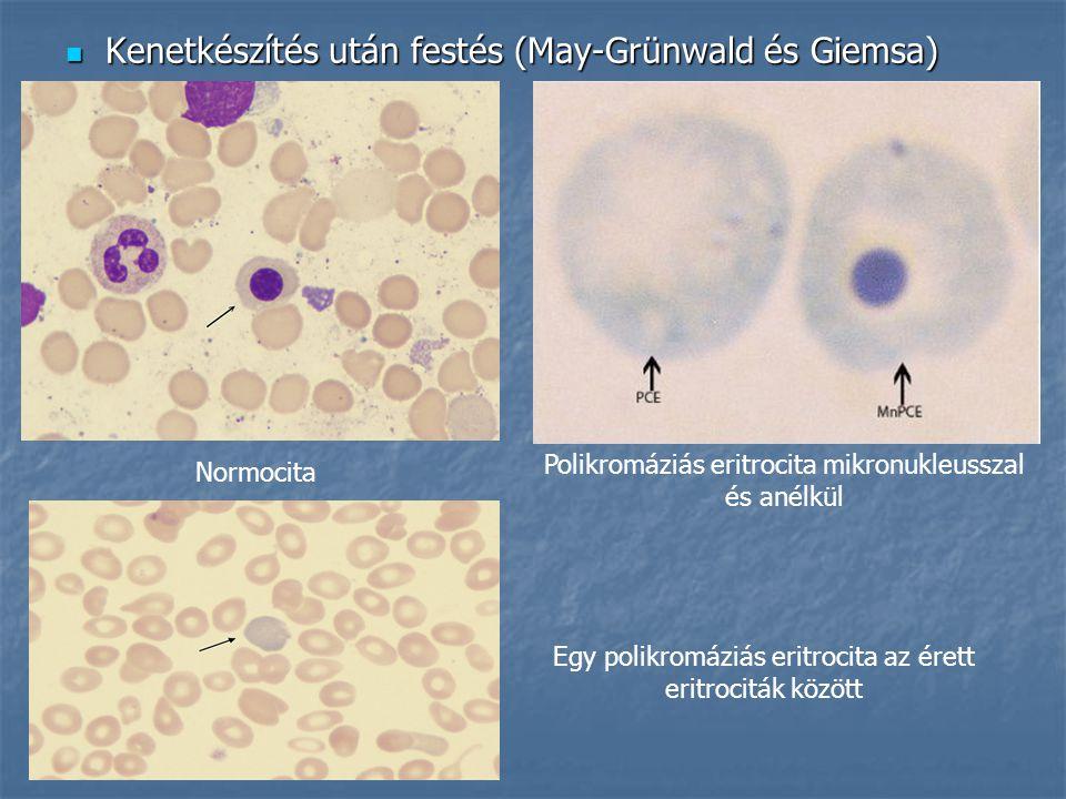 Kenetkészítés után festés (May-Grünwald és Giemsa) Kenetkészítés után festés (May-Grünwald és Giemsa) Normocita Polikromáziás eritrocita mikronukleusszal és anélkül Egy polikromáziás eritrocita az érett eritrociták között