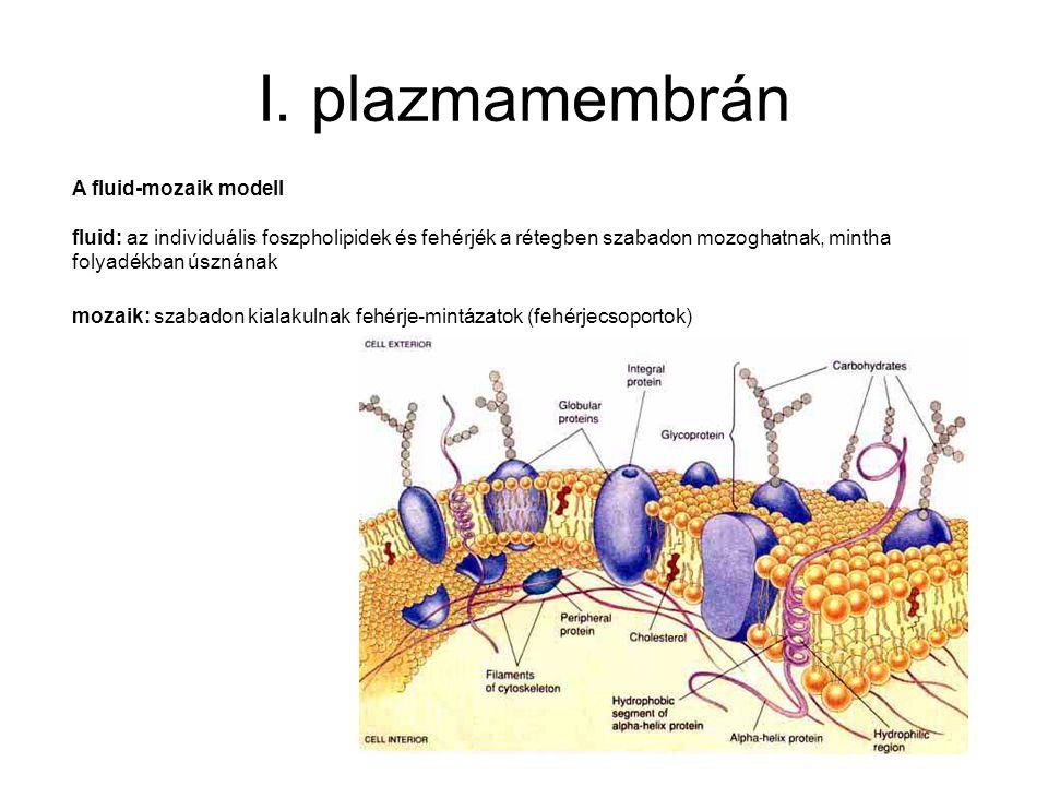 I. plazmamembrán A fluid-mozaik modell fluid: az individuális foszpholipidek és fehérjék a rétegben szabadon mozoghatnak, mintha folyadékban úsznának