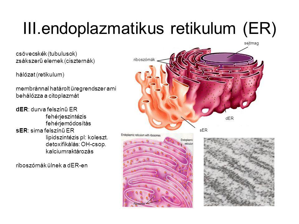 III.endoplazmatikus retikulum (ER) csövecskék (tubulusok) zsákszerű elemek (ciszternák) hálózat (retikulum) membránnal határolt üregrendszer ami behál