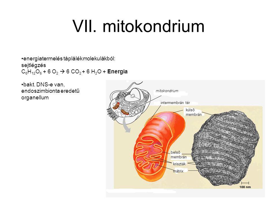 VII. mitokondrium energiatermelés táplálékmolekulákból: sejtlégzés C 6 H 12 O 6 + 6 O 2  6 CO 2 + 6 H 2 O + Energia bakt. DNS-e van, endoszimbionta e