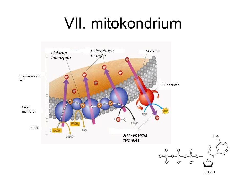 VII. mitokondrium intermembrán tér belső membrán mátrix elektron transzport hidrogén ion mozgás ATP-energia termelés csatorna ATP-szintáz