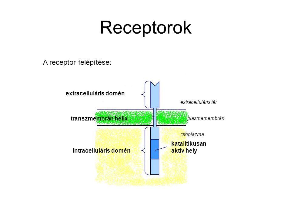 Receptorok A receptor felépítése: extracelluláris domén intracelluláris domén transzmembrán hélix katalitikusan aktív hely extracelluláris tér plazmam