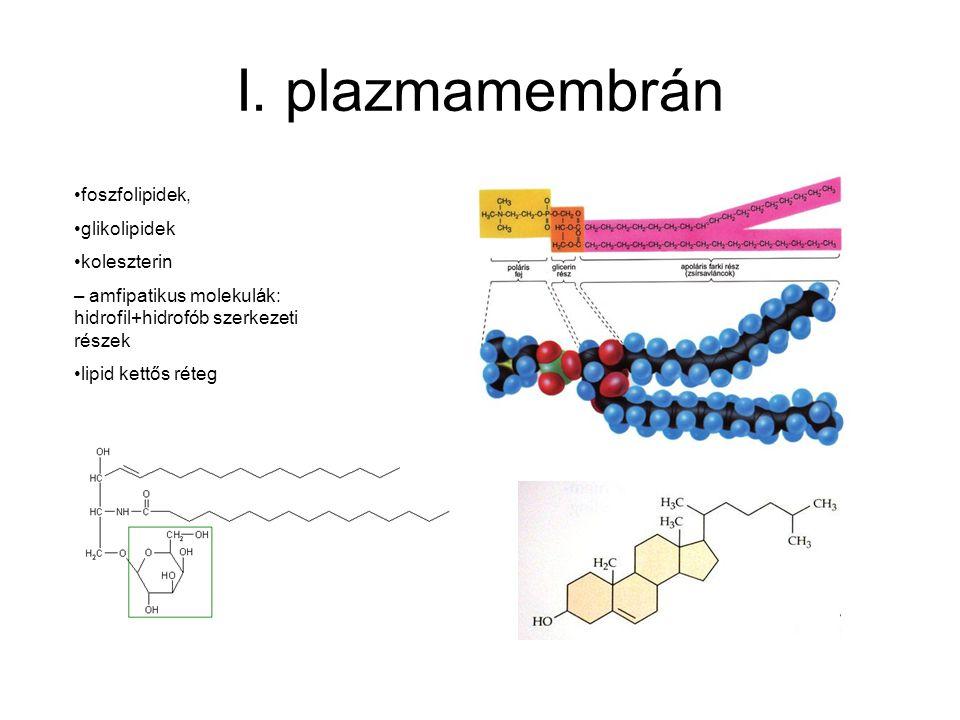 I. plazmamembrán foszfolipidek, glikolipidek koleszterin – amfipatikus molekulák: hidrofil+hidrofób szerkezeti részek lipid kettős réteg