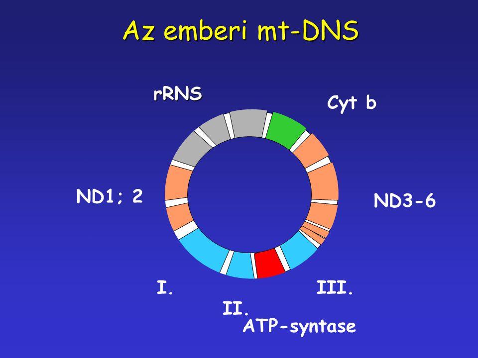 Az emberi mt-DNS rRNS ND1; 2 I. II. ATP-syntase III. ND3-6 Cyt b