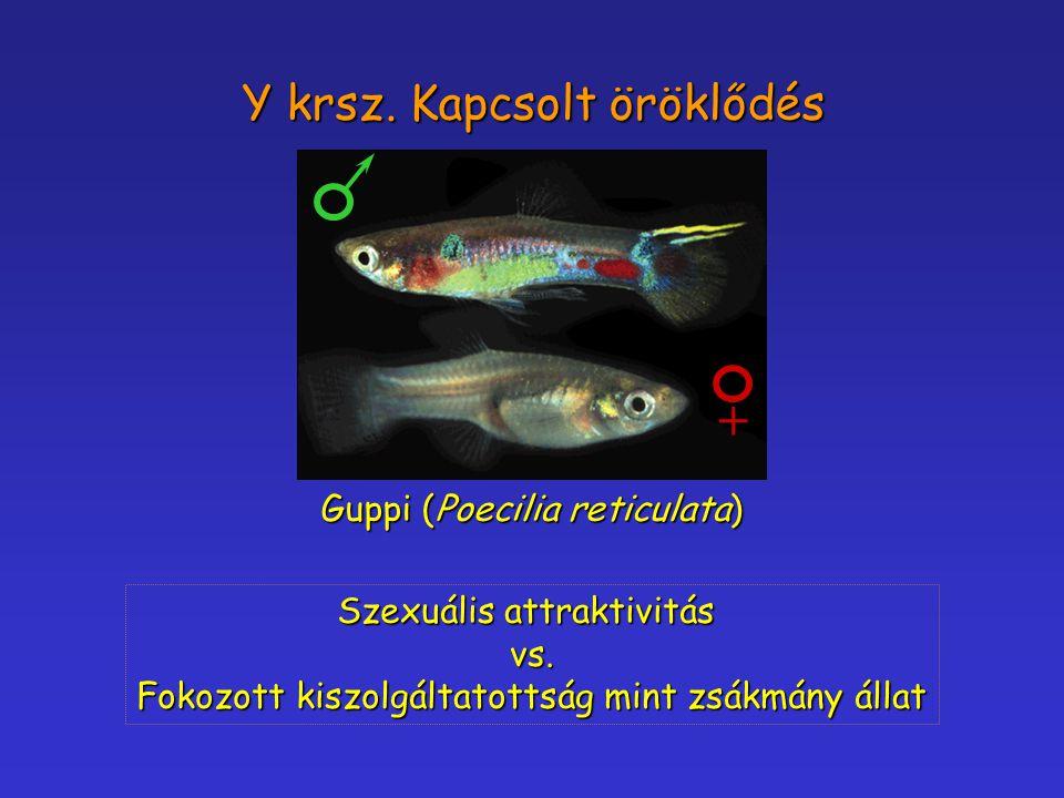 Y krsz. Kapcsolt öröklődés Guppi (Poecilia reticulata) + Szexuális attraktivitás vs. Fokozott kiszolgáltatottság mint zsákmány állat