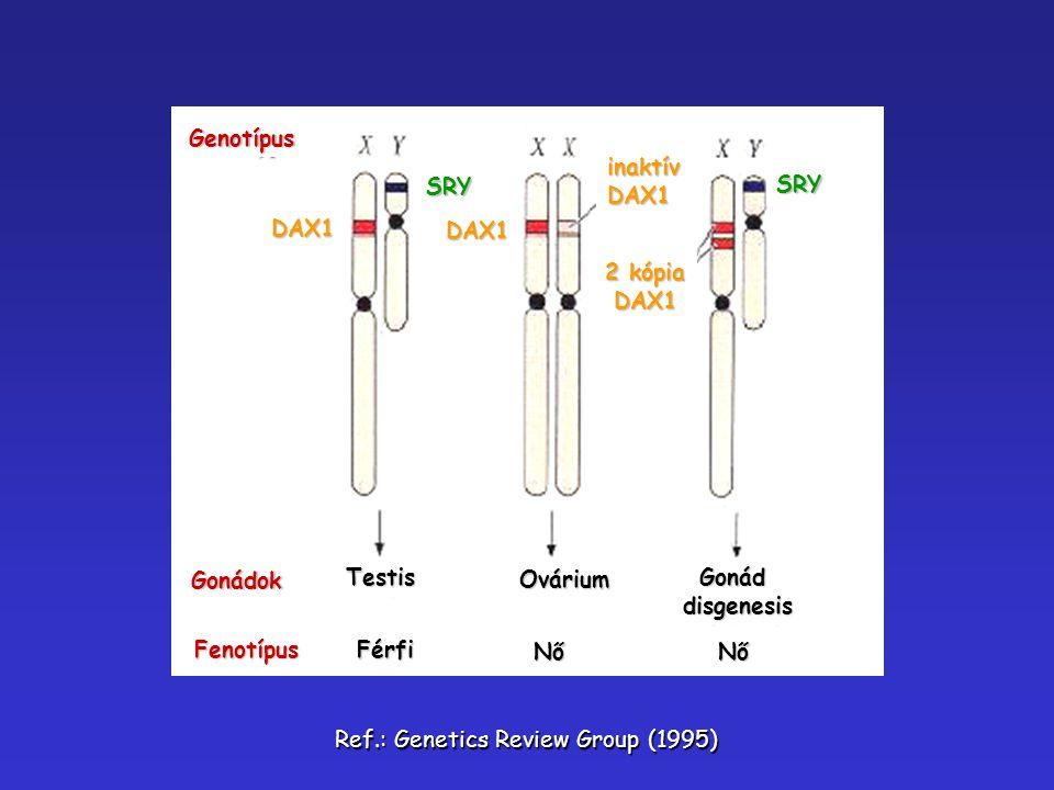 Gonádok Genotípus Fenotípus Testis Férfi Nő Nő Ovárium Gonáddisgenesis DAX1 SRY SRY DAX1 DAX1 inaktívDAX1 2 kópia DAX1 Ref.: Genetics Review Group (19