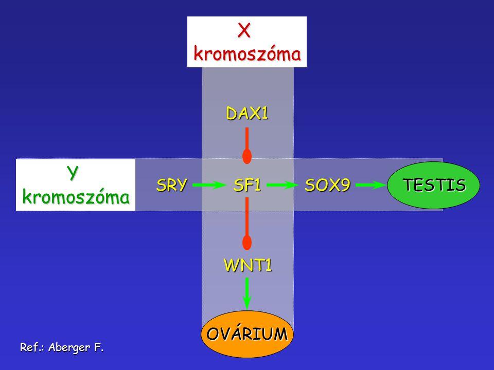 Xkromoszóma Ykromoszóma SRYSF1SOX9TESTIS DAX1 WNT1 OVÁRIUM Ref.: Aberger F.