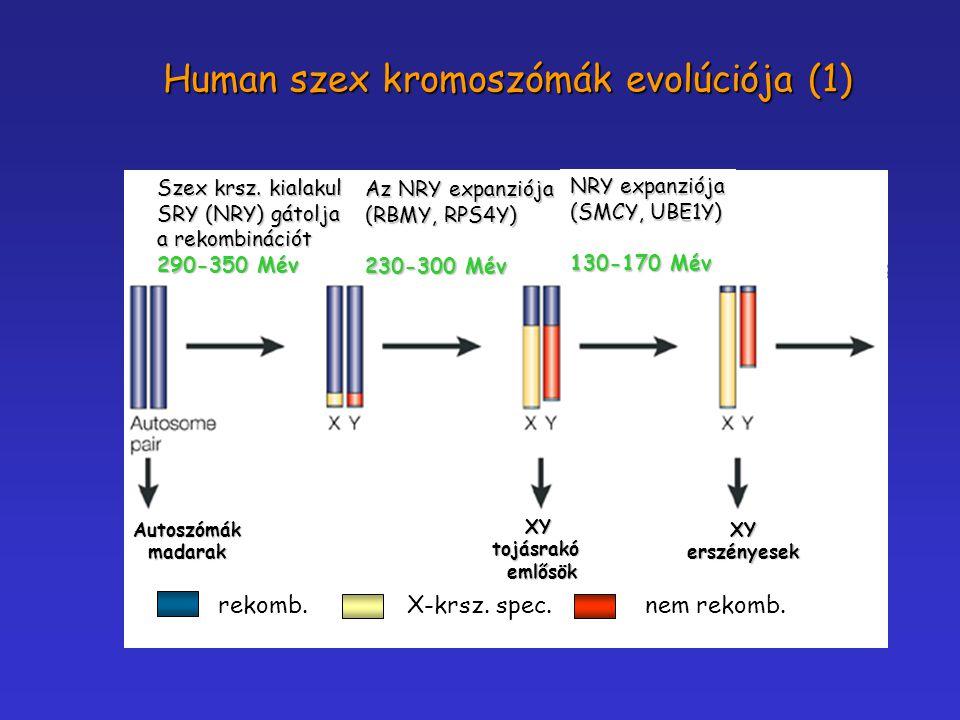 Human szex kromoszómák evolúciója (1) Szex krsz. kialakul SRY (NRY) gátolja a rekombinációt 290-350 Mév Az NRY expanziója (RBMY, RPS4Y) 230-300 Mév NR