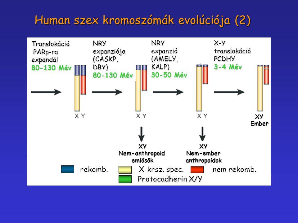 rekomb. nem rekomb. X-krsz. spec. Translokáció PARp-ra PARp-raexpandál 80-130 Mév NRYexpanziója(CASKP,DBY) NRYexpanzió(AMELY,KALP) 30-50 Mév X-Y trans