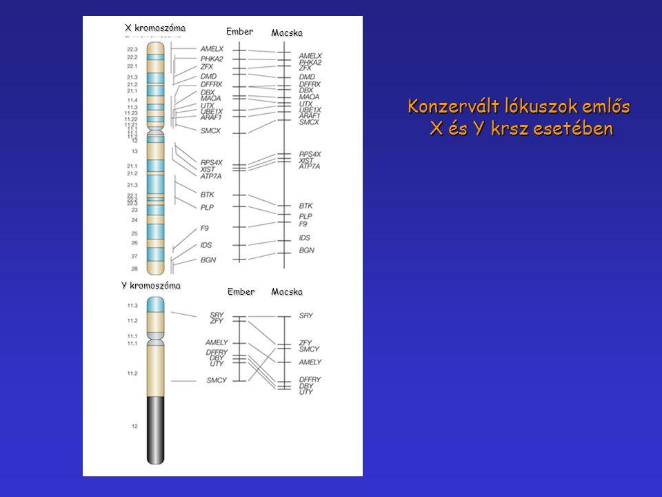 Y kromoszóma X kromoszóma Ember Ember Macska Macska Konzervált lókuszok emlős X és Y krsz esetében X és Y krsz esetében