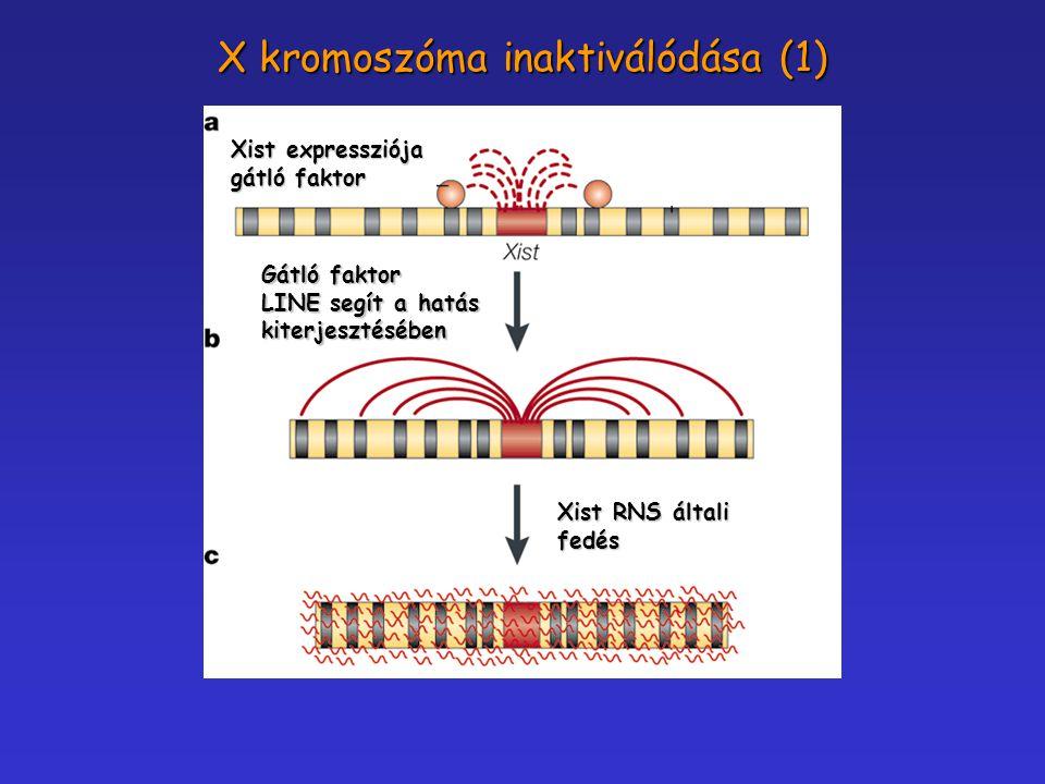 X kromoszóma inaktiválódása (1) Xist expressziója gátló faktor Gátló faktor LINE segít a hatás kiterjesztésében Xist RNS általi fedés