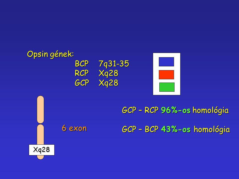 Opsin gének: BCP7q31-35 RCPXq28 GCPXq28 Xq28 Xq28 6 exon GCP – RCP 96%-os homológia GCP – BCP 43%-os homológia