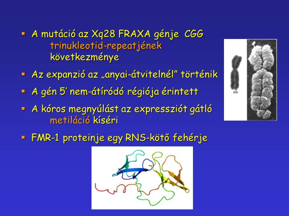 """ A mutáció az Xq28 FRAXA génje CGG trinukleotid-repeatjének következménye  Az expanzió az """"anyai-átvitelnél"""" történik  A gén 5' nem-átíródó régiója"""
