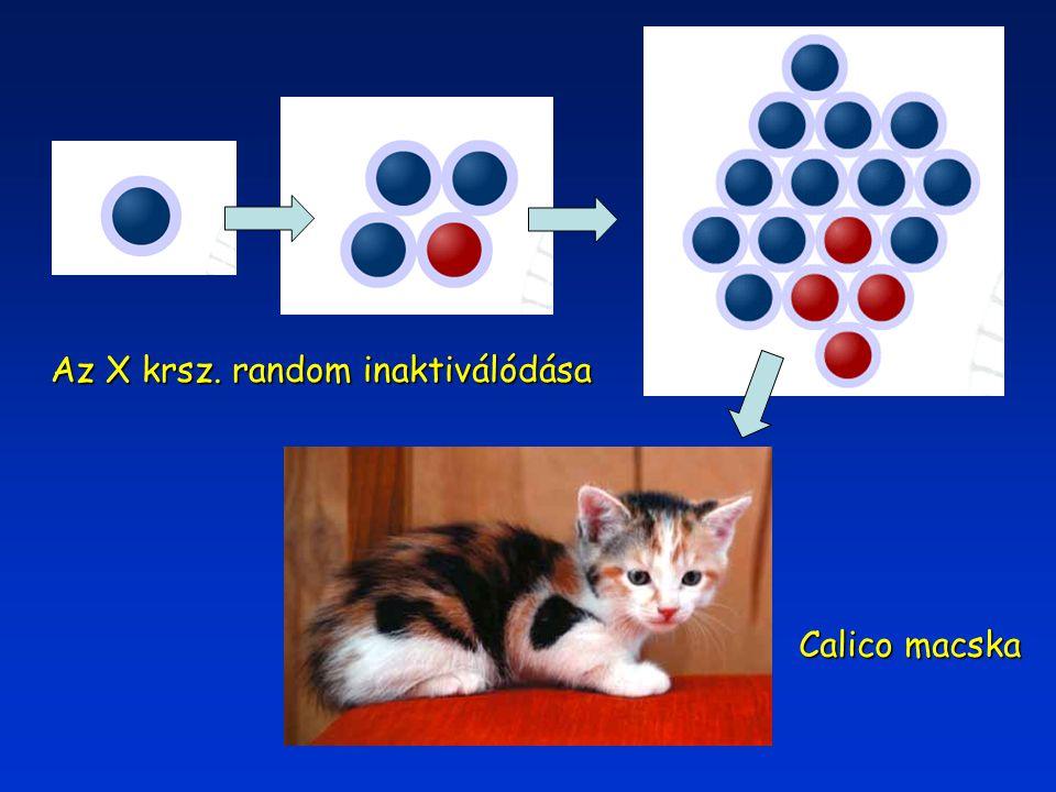 Calico macska Az X krsz. random inaktiválódása