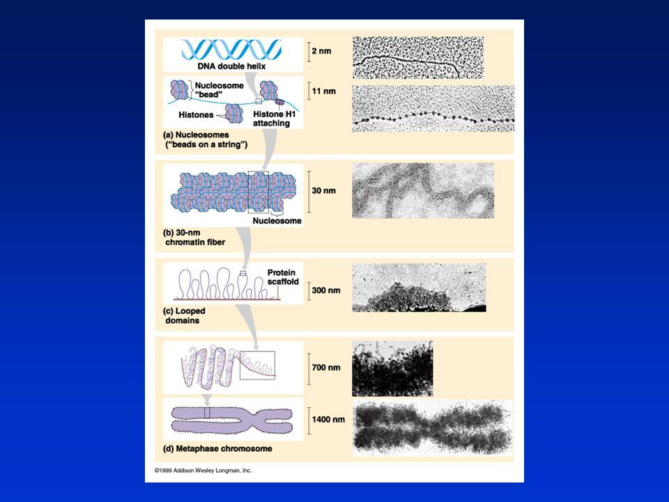 Burkitt limfóma c-myc protoonkogén transzlokációja 8 14222 Ig H lánc Ig  lánc Ig lánc A c-myc által kódolt transzkripciós faktor -az Ig-hoz hasonlóan – folyamatosan termelődik termelődik SEJTOSZTÓDÁS – TUMOR képződés