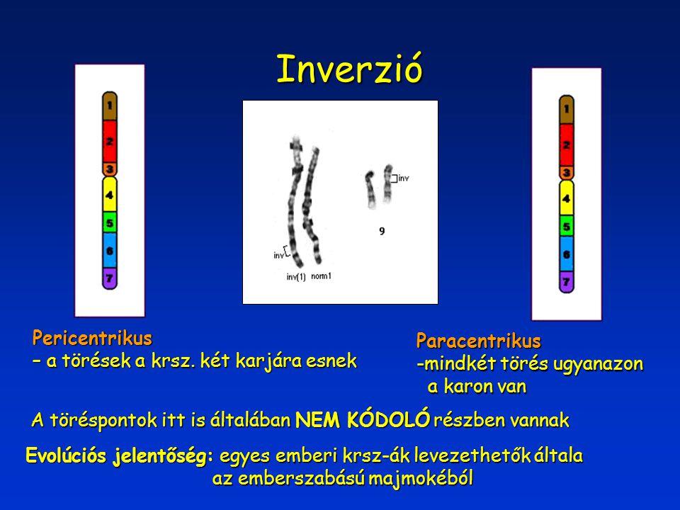Inverzió Pericentrikus – a törések a krsz. két karjára esnek Paracentrikus -mindkét törés ugyanazon a karon van a karon van Evolúciós jelentőség: egye
