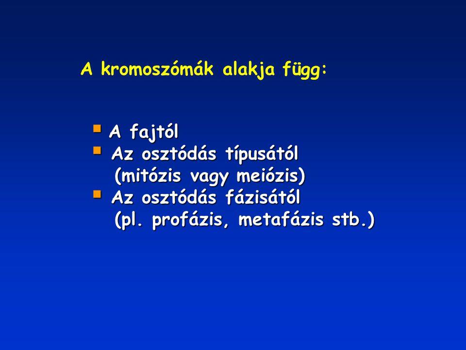 A kromoszómák alakja függ:  A fajtól  Az osztódás típusától (mitózis vagy meiózis) (mitózis vagy meiózis)  Az osztódás fázisától (pl. profázis, met