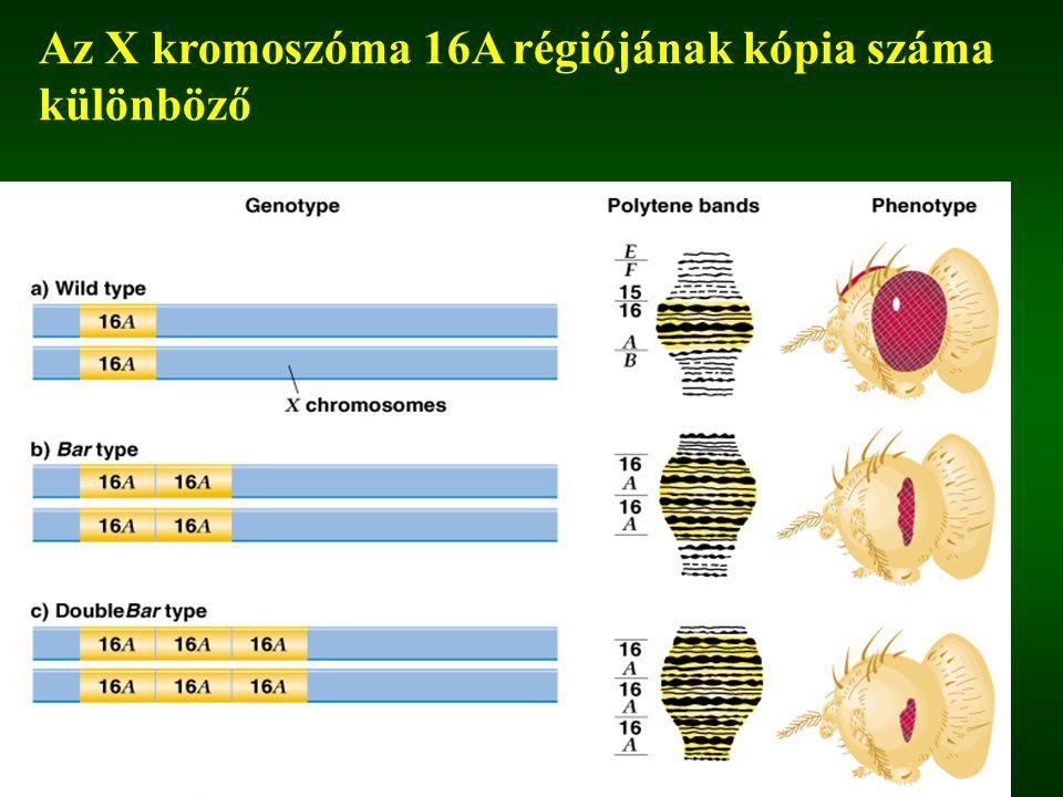 Az X kromoszóma 16A régiójának kópia száma különböző