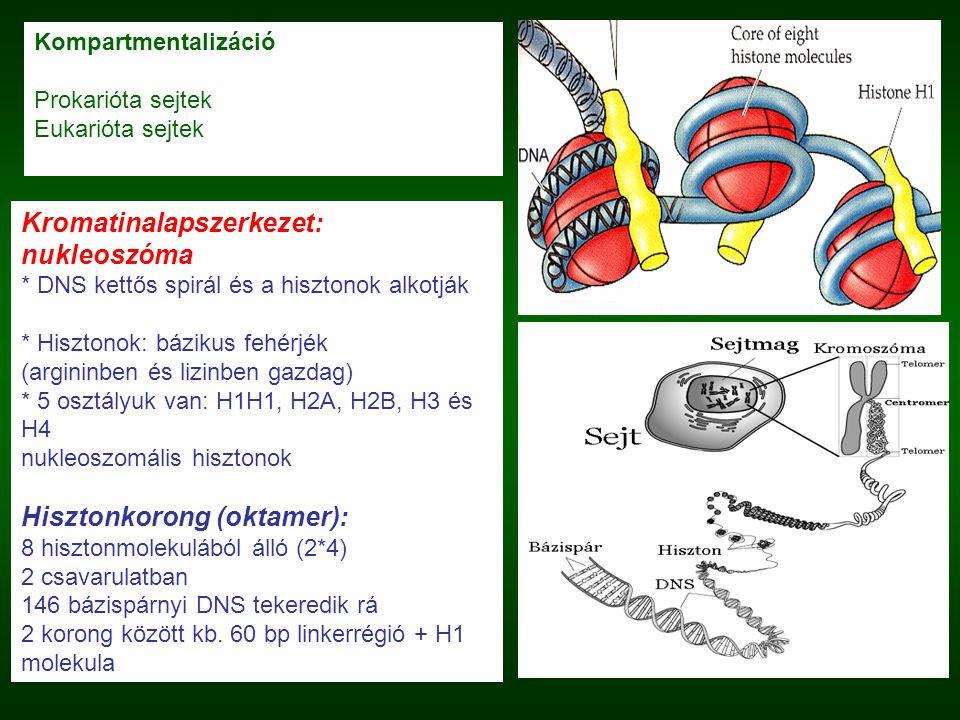 Kompartmentalizáció Prokarióta sejtek Eukarióta sejtek Kromatinalapszerkezet: nukleoszóma * DNS kettős spirál és a hisztonok alkotják * Hisztonok: báz