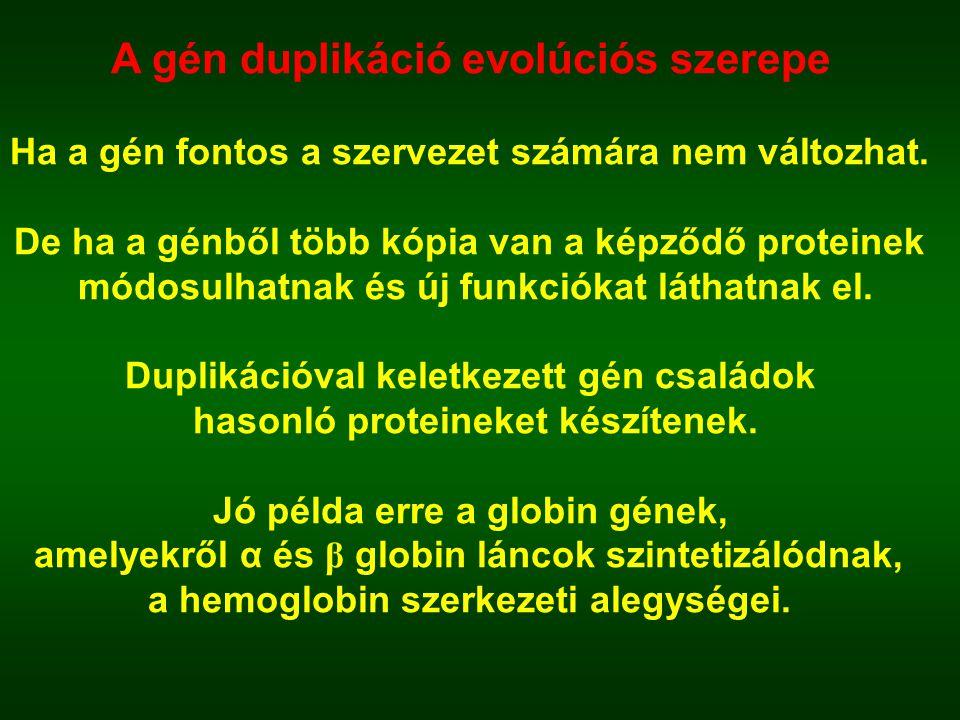 A gén duplikáció evolúciós szerepe Ha a gén fontos a szervezet számára nem változhat. De ha a génből több kópia van a képződő proteinek módosulhatnak