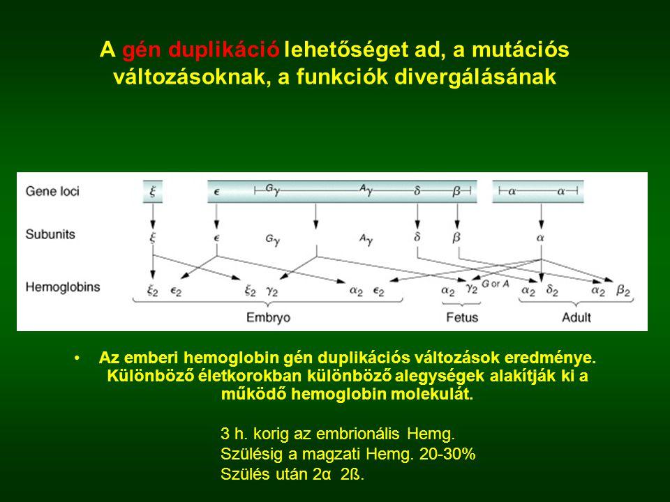 A gén duplikáció lehetőséget ad, a mutációs változásoknak, a funkciók divergálásának Az emberi hemoglobin gén duplikációs változások eredménye. Különb