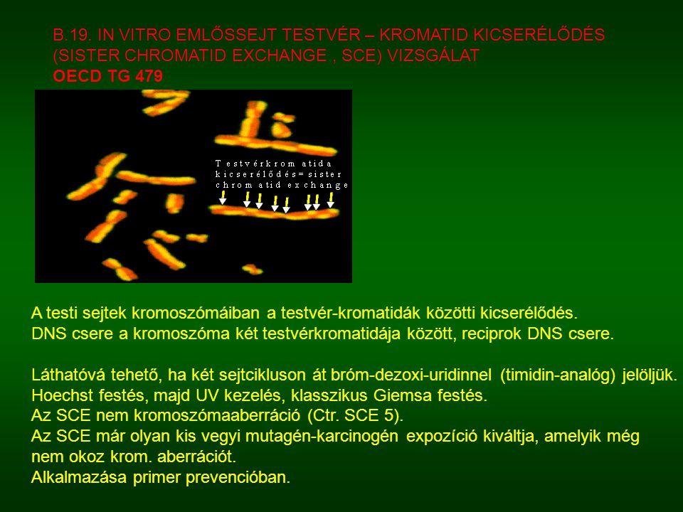 A testi sejtek kromoszómáiban a testvér-kromatidák közötti kicserélődés. DNS csere a kromoszóma két testvérkromatidája között, reciprok DNS csere. Lát